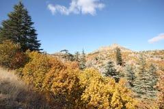 Ponderosa Pine Tree. Blue sky, shrubs and pine forest Stock Photos