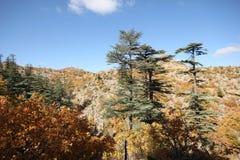Ponderosa Pine Tree. Blue sky, shrubs and pine forest Stock Image