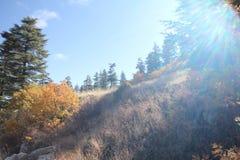 Ponderosa Pine Tree. Blue sky, shrubs and pine forest Royalty Free Stock Photo