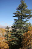 Ponderosa Pine Tree. Blue sky, shrubs and pine forest Stock Photography