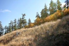 Ponderosa Pine Tree. Blue sky, shrubs and pine forest Royalty Free Stock Photos