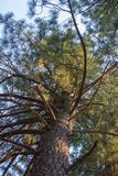 Ponderosa Pine Tree From The Bottom Looking Up. Ponderosa Pine Tree Shot from the Bottom Looking Up Stock Photography