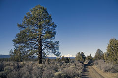 Ponderosa pine tree and dirt road. A large ponderosa pine tree and a narrow dirt road in the Oregon Cascade Mountains Stock Image