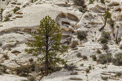 Ponderosa Pine Tree Royalty Free Stock Photos