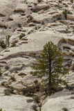Ponderosa Pine Tree Stock Photography