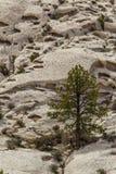 Ponderosa Pine Tree. Vertical Composition of Large Ponderosa Pine Tree Growing On Crystal Peak in the Wah-Wah-Mountains of the Great Basin Desert, Utah Stock Photography