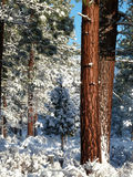 Ponderosa Pine trees after fresh snow. Several inches of snowfall on Ponderosa Pine forest. Two trunks prominent, with the sun illuminating the bark to a golden Royalty Free Stock Photography