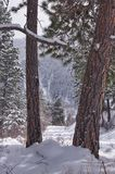 Ponderosa pine trees. Ponderosa pine tree in fresh fallen snow in mountains of Wyoming Royalty Free Stock Photo