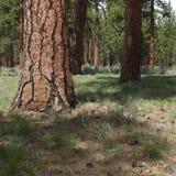 Ponderosa Pine Trees in spring Royalty Free Stock Image