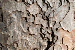Ponderosa Pine-Wood texture and background. Closeup on the bark of the Ponderosa Pine,  Pinus ponderosa - texture or background Stock Image