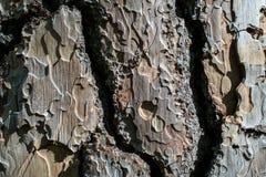 Ponderosa Pine-Wood texture and background. Closeup on the bark of the Ponderosa Pine- Pinus ponderosa - texture or background Royalty Free Stock Photo