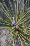 Ponderosa pine young cone Royalty Free Stock Photography