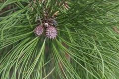 Ponderosa pine young cones. Ponderosa pine Pinus ponderosa. Called Bull Pine, Blackjack Pine and Western Yellow Pine also Royalty Free Stock Photo