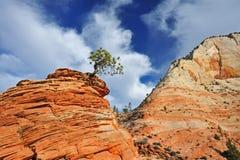 Ponderosa Pine Zion National Park. Ponderosa pine (Pinus ponderosa) growing on cliff edge, Zion National Park, Utah, USA Royalty Free Stock Photo