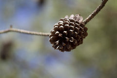 Ponderosa Pinecone Background Stock Photography