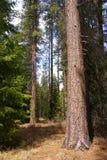 Ponderosa pines, Royalty Free Stock Photo