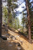 Ponderosa pines along forest trail Stock Photography