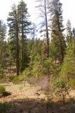 Ponderosa pines and blue sky Stock Photos