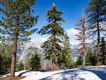 Ponderosa pines, snow and half dome in Yosemite including one dead pine. View of half dome filtered through ponderosa pines at Washburn Point, Yosemite National Royalty Free Stock Image