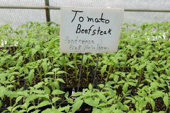 Ponderosa Pink Heirloom Beefsteak tomato seedlings. Ready for sale at nursery stock image