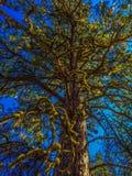 Ponderosa sörjer trädet Royaltyfria Bilder