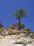 Ponderosa in un canyon Fotografia Stock Libera da Diritti