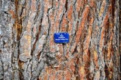 Ponderosa Western Yellow Pine Tree Royalty Free Stock Photos