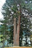 Ponderosa Western Yellow Pine Tree Stock Images