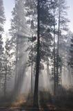 Ponderosapijnboom in de Mist Royalty-vrije Stock Afbeeldingen