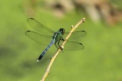 pondhawk dragonfly восточное стоковые изображения