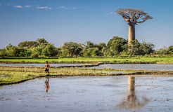 Ponds and baobab Royalty Free Stock Images