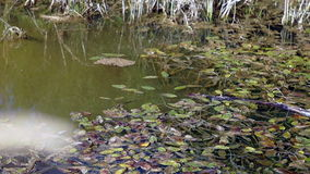 Pondweed grows in the pond. Not a large pond overgrown with greenery stock video footage