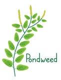 Pondweed plant illustration Royalty Free Stock Photos