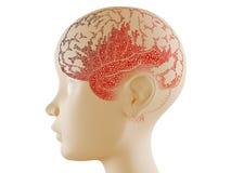 Pone letras al cerebro Foto de archivo libre de regalías
