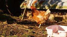 Ponedora de la gama de Rhode Island Red Chicken Free fotografía de archivo