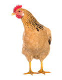 Ponedora del pollo agraciado, color rojo Aislado Fotos de la serie Imagenes de archivo