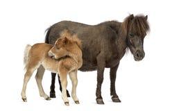 Poney μητέρων και foal της το γρατσούνισμα που απομονώνονται στο λευκό Στοκ φωτογραφία με δικαίωμα ελεύθερης χρήσης