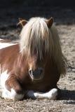 poney Stock Afbeeldingen
