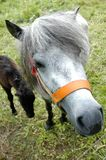 Poney photo libre de droits
