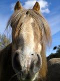 Poney Image libre de droits