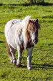 Poney Royalty-vrije Stock Fotografie