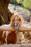 Poney Images libres de droits