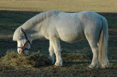 Poney blanc Photographie stock libre de droits