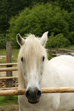 Poney blanc dans le corral photos stock