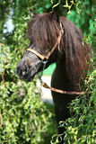 Poney brun gentil avec la longue crinière Photos stock