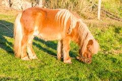 poney brun mangeant l'herbe dans un jour ensoleillé photos libres de droits