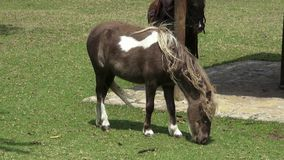 Poney, cheval miniature, chevaux, animaux de ferme clips vidéos