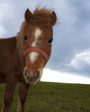 Poney close up. Close up of a brown poney Royalty Free Stock Images