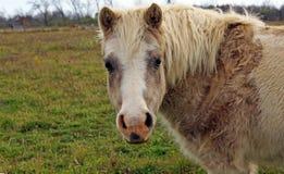 Poney curieux Photo libre de droits