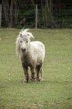 Poney d'îles Shetland Photo libre de droits